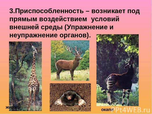 3.Приспособленность – возникает под прямым воздействием условий внешней среды (Упражнение и неупражнение органов). окапи жираф
