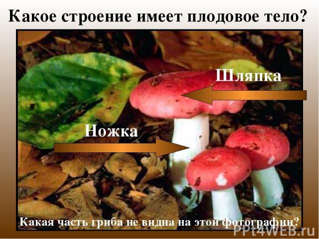 Какое строение имеет плодовое тело? Какая часть гриба не видна на этой фотографии?