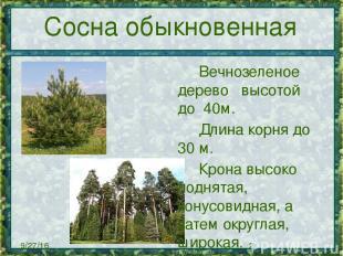 Сосна обыкновенная Вечнозеленое дерево высотой до 40м. Длинакорня до
