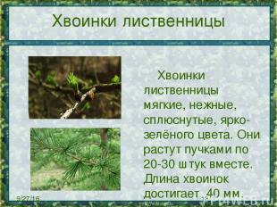 Хвоинки лиственницы Хвоинки лиственницы мягкие, нежные, сплюснутые, ярко-зелёног