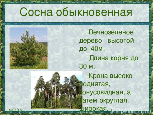 Сосна обыкновенная Вечнозеленое дерево высотой до 40м. Длинакорня до 30 м. Кронавысоко поднятая, конусовидная, а затем округлая, широкая. Сосна доживает в среднем до 350 лет.