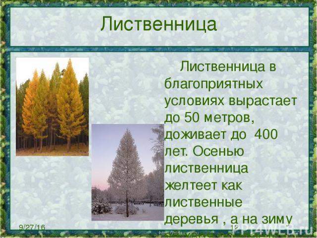 Лиственница Лиственница в благоприятных условиях вырастает до 50 метров, доживает до 400 лет. Осенью лиственница желтеет как лиственные деревья , а на зиму её хвоя осыпается .