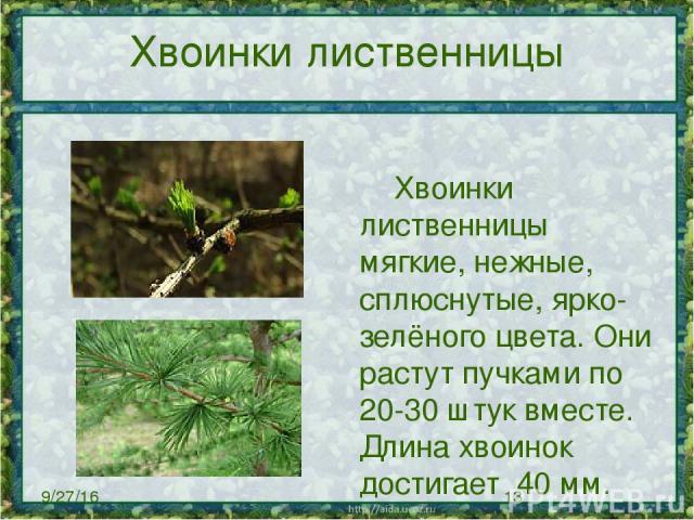 Хвоинки лиственницы Хвоинки лиственницы мягкие, нежные, сплюснутые, ярко-зелёного цвета. Они растут пучками по 20-30 штук вместе. Длина хвоинок достигает 40мм.