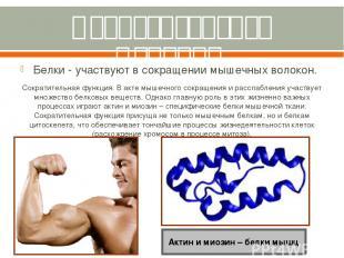 Сократительная функция. Белки - участвуют в сокращении мышечных волокон. Сократи