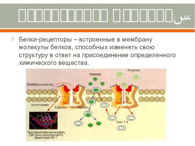 Рецепторная функция. Белки-рецепторы – встроенные в мембрану молекулы белков, способных изменять свою структуру в ответ на присоединение определенного химического вещества.