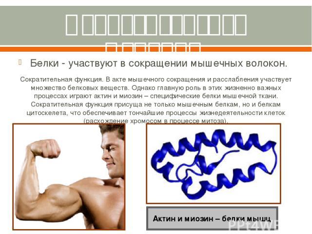 Сократительная функция. Белки - участвуют в сокращении мышечных волокон. Сократительная функция. В акте мышечного сокращения и расслабления участвует множество белковых веществ. Однако главную роль в этих жизненно важных процессах играют актин и мио…