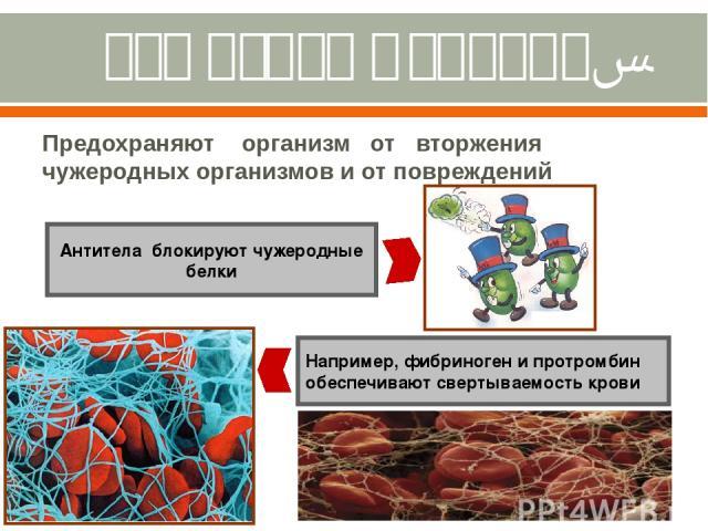 Защитная функция. Предохраняют организм от вторжения чужеродных организмов и от повреждений Антитела блокируют чужеродные белки Например, фибриноген и протромбин обеспечивают свертываемость крови