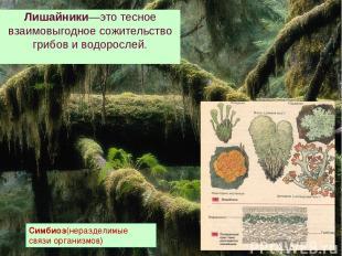Лишайники—это тесное взаимовыгодное сожительство грибов и водорослей. Симбиоз(не