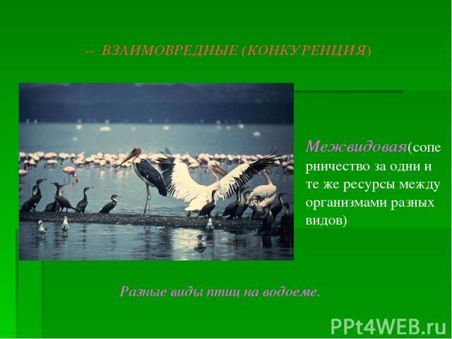 -- ВЗАИМОВРЕДНЫЕ (КОНКУРЕНЦИЯ) Межвидовая(соперничество за одни и те же ресурсы между организмами разных видов) Разные виды птиц на водоеме.