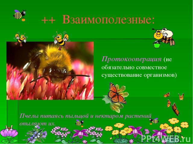 ++ Взаимополезные: Протокооперация (не обязательно совместное существование организмов) Пчелы питаясь пыльцой и нектаром растений опыляют их.
