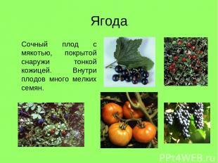 Ягода Сочный плод с мякотью, покрытой снаружи тонкой кожицей. Внутри плодов мног