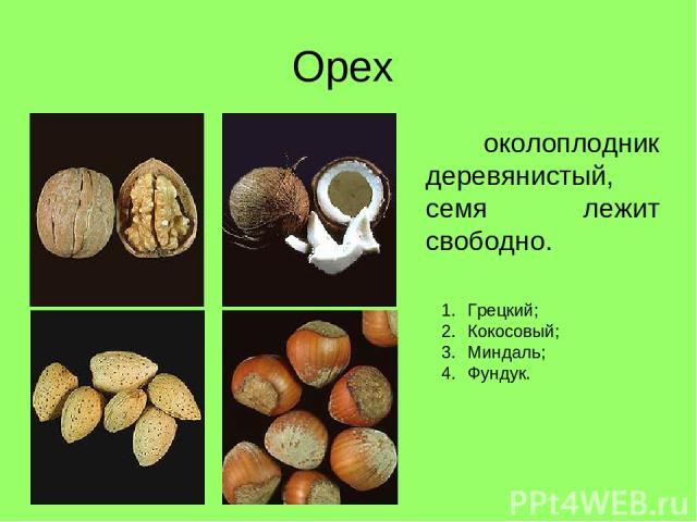 Орех околоплодник деревянистый, семя лежит свободно. Грецкий; Кокосовый; Миндаль; Фундук.