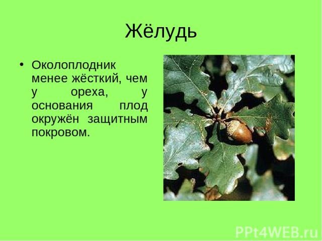 Жёлудь Околоплодник менее жёсткий, чем у ореха, у основания плод окружён защитным покровом.