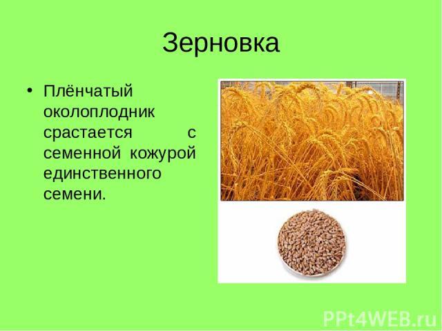 Зерновка Плёнчатый околоплодник срастается с семенной кожурой единственного семени.
