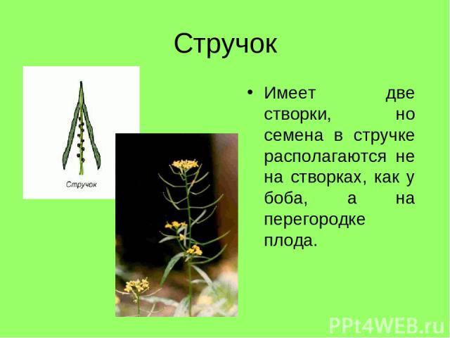 Стручок Имеет две створки, но семена в стручке располагаются не на створках, как у боба, а на перегородке плода.