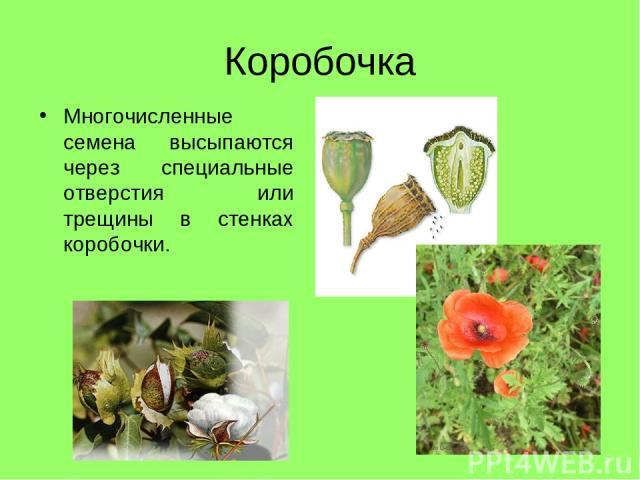 Коробочка Многочисленные семена высыпаются через специальные отверстия или трещины в стенках коробочки.