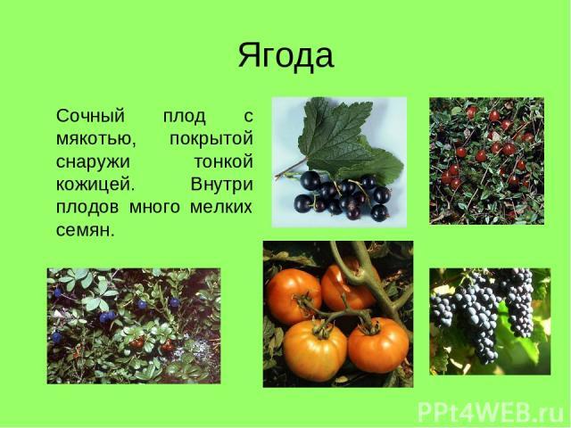 Ягода Сочный плод с мякотью, покрытой снаружи тонкой кожицей. Внутри плодов много мелких семян.