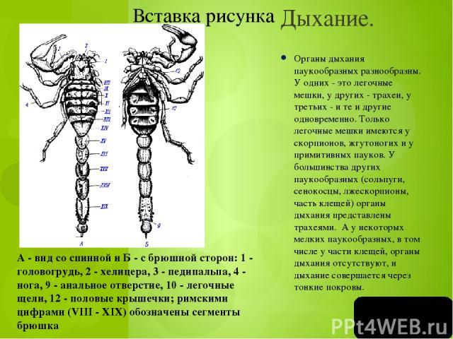 Грызуще - сосущий ротовой аппарат (пчела с выдвинутым хоботком)