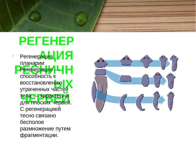РЕГЕНЕРАЦИЯ РЕСНИЧНЫХ ЧЕРВЕЙ Регенерация планарии Регенерация — способность к восстановлению утраченных частей тела — характерна для плоских червей. C регенерацией тесно связано бесполое размножение путем фрагментации.