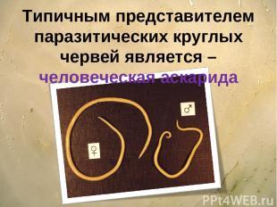 Типичным представителем паразитических круглых червей является – человеческая ас