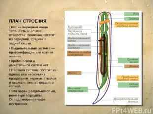 ПЛАН СТРОЕНИЯ Рот на переднем конце тела. Есть анальное отверстие. Кишечник сост