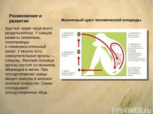 Размножение и развитие Круглые черви чаще всего раздельнополы. У самцов развиты