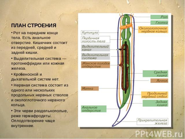 ПЛАН СТРОЕНИЯ Рот на переднем конце тела. Есть анальное отверстие. Кишечник состоит изпередней, средней и задней кишки. Выделительная система — протонефридии или кожная железа. Кровеносной и дыхательной систем нет. Нервная система состоит из одного…