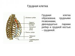 Грудная клетка Грудная клетка образована грудными позвонками, двенадцатью парами