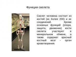Функции скелета Скелет человека состоит из костей (их более 200) и их соединений