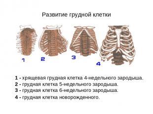 Развитие грудной клетки 1 - хрящевая грудная клетка 4-недельного зародыша. 2 - г