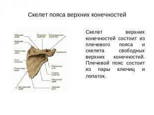 Скелет пояса верхних конечностей Скелет верхних конечностей состоит из плечевого