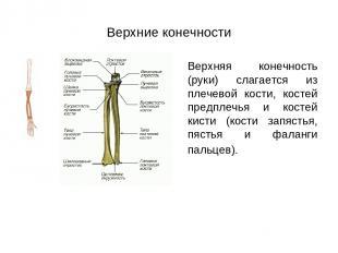 Верхние конечности Верхняя конечность (руки) слагается из плечевой кости, костей