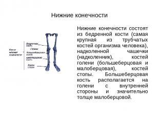 Нижние конечности Нижние конечности состоят из бедренной кости (самая крупная из