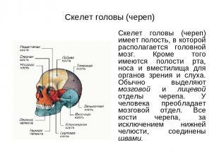 Скелет головы (череп) Скелет головы (череп) имеет полость, в которой располагает