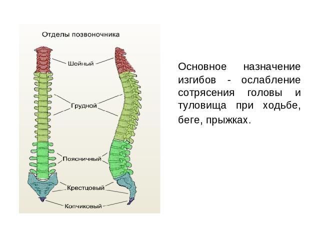 Основное назначение изгибов - ослабление сотрясения головы и туловища при ходьбе, беге, прыжках.