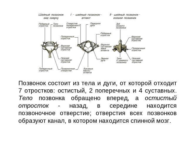 Позвонок состоит из тела и дуги, от которой отходит 7 отростков: остистый, 2 поперечных и 4 суставных. Тело позвонка обращено вперед, а остистый отросток - назад, в середине находится позвоночное отверстие; отверстия всех позвонков образуют канал, в…