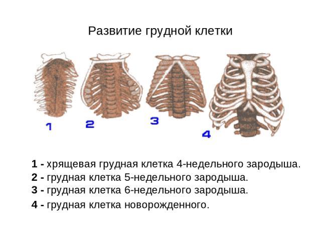 Развитие грудной клетки 1 - хрящевая грудная клетка 4-недельного зародыша. 2 - грудная клетка 5-недельного зародыша. 3 - грудная клетка 6-недельного зародыша. 4 - грудная клетка новорожденного.