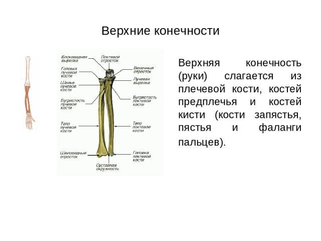 Верхние конечности Верхняя конечность (руки) слагается из плечевой кости, костей предплечья и костей кисти (кости запястья, пястья и фаланги пальцев).
