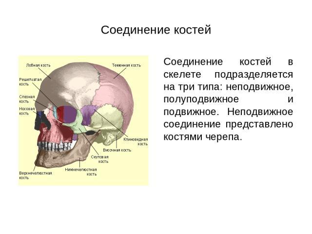 Соединение костей Соединение костей в скелете подразделяется на три типа: неподвижное, полуподвижное и подвижное. Неподвижное соединение представлено костями черепа.