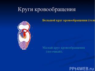Круги кровообращения Большой круг кровообращения (телесный) Малый круг кровообра