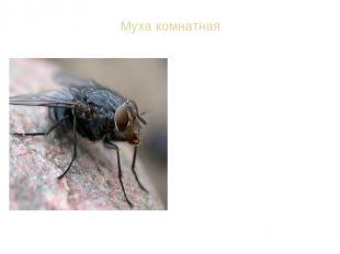 Муха комнатная ВИД: Муха комнатная - Musca domestica Спутник человека в сельской