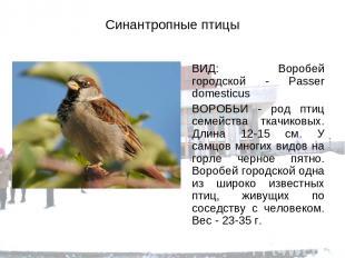 Синантропные птицы ВИД: Воробей городской - Passer domesticus ВОРОБЬИ - род птиц