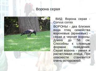 Ворона серая ВИД: Ворона серая - Corvus cornix ВОРОНЫ - два близких вида птиц се