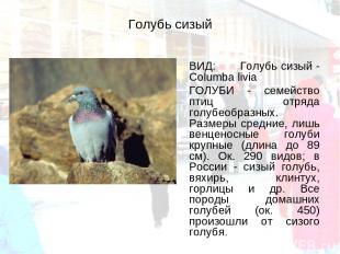 Голубь сизый ВИД: Голубь сизый - Columba livia ГОЛУБИ - семейство птиц отряда го