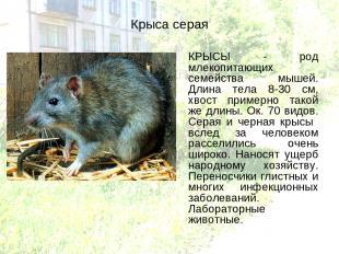 Крыса серая КРЫСЫ - род млекопитающих семейства мышей. Длина тела 8-30 см, хвост