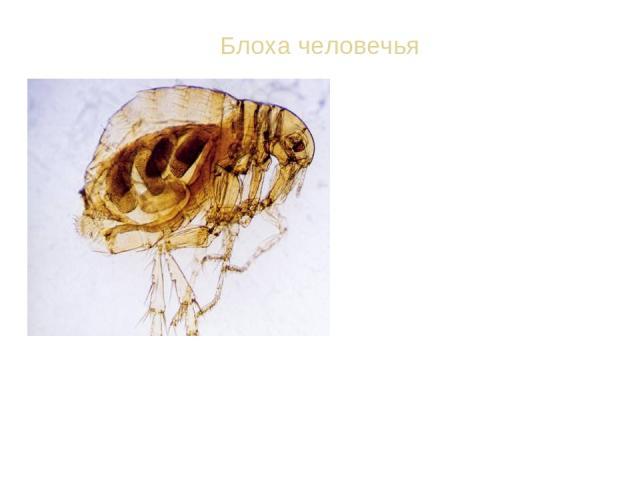 Блоха человечья ВИД: Блоха человечья - Pulex irritans Ротовой аппарат колюще-сосущий. Крыльев нет, задние ноги прыгательные. Длина 1-6 мм. Ок. 1000 видов. Взрослые блохи паразитируют на птицах, млекопитающих и человеке, питаясь кровью; переносчики в…