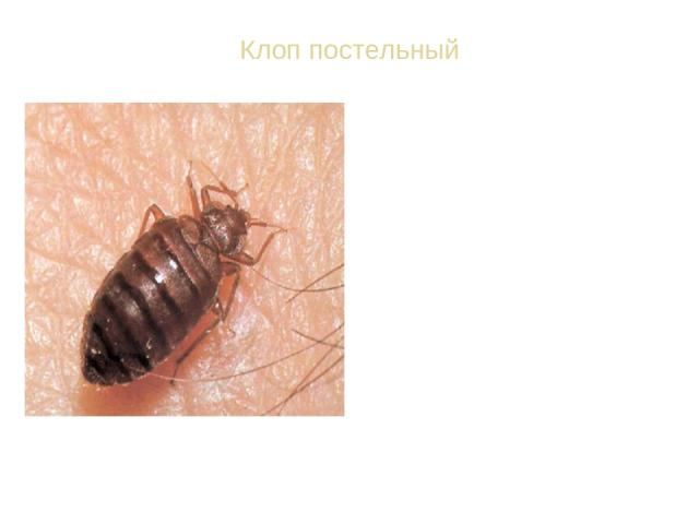 Клоп постельный ВИД: Постельный клоп обыкновенный - Cimex lectularius. Тело постельного клопа красновато-бурого цвета. Ноги постельного клопа - ходильные. За одну минуту он может пробежать расстояние в 1 м, т. е. дистанцию, в 200 раз большую, чем дл…
