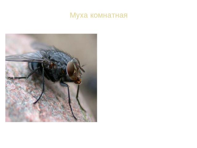 Муха комнатная ВИД: Муха комнатная - Musca domestica Спутник человека в сельской местности и в городах. Питается жидкой пищей. Твердые вещества она может поглощать, растворяя их при помощи выделяемой слюны. Переносчик возбудителей различных инфекцио…