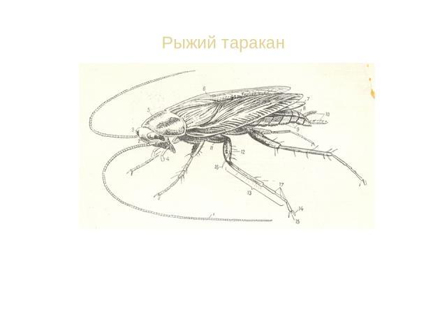 Рыжий таракан Останки таракана находят в залежах 300-миллионолетней давности. Несколько видов таракана стали сожителями человека. Могут есть почти всё. Загрязняют квартиру.