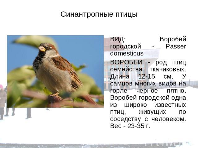 Синантропные птицы ВИД: Воробей городской - Passer domesticus ВОРОБЬИ - род птиц семейства ткачиковых. Длина 12-15 см. У самцов многих видов на горле черное пятно. Воробей городской одна из широко известных птиц, живущих по соседству с человеком. Ве…